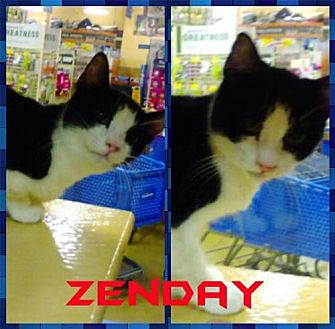 Domestic Shorthair Cat for adoption in Lawton, Oklahoma - ZENDAY
