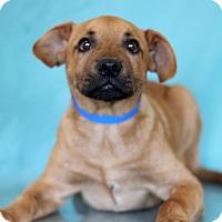 Adopt A Pet :: Tin Star - Waldorf, MD
