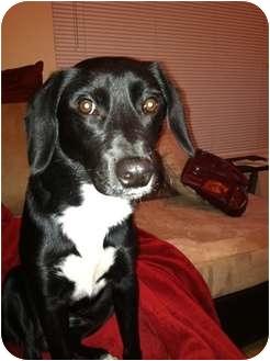 Labrador Retriever Mix Puppy for adoption in Winder, Georgia - *Jet