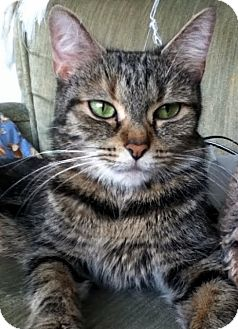 Domestic Mediumhair Cat for adoption in Alexandria, Virginia - Gilly