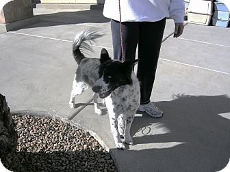 Border Collie Mix Dog for adoption in Las Vegas, Nevada - Laddie