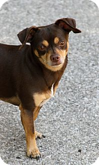 Chihuahua Mix Dog for adoption in Muskegon, Michigan - Brutus