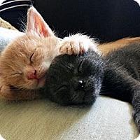 American Shorthair Kitten for adoption in Los Angeles, California - MORE KITTENS!!!!