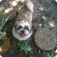 Adopt A Pet :: Teddy Bear - Justin, TX
