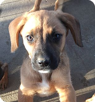 Labrador Retriever/Boxer Mix Puppy for adoption in Long Beach, California - Ruby's Pup 2