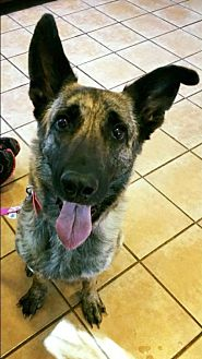 German Shepherd Dog/Dutch Shepherd Mix Dog for adoption in Morrisville, North Carolina - Sirina