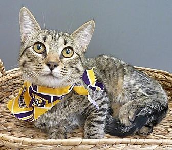 Domestic Shorthair Cat for adoption in League City, Texas - Tizzi-Lish