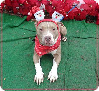 Pit Bull Terrier/Labrador Retriever Mix Dog for adoption in Marietta, Georgia - SHELLY (R)