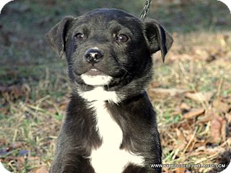 Labrador Retriever/Border Collie Mix Puppy for adoption in parissipany, New Jersey - DOC/ADOPTED