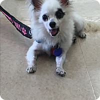 Chihuahua Mix Dog for adoption in Lehigh, Florida - Guppy