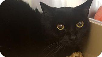 Domestic Shorthair Cat for adoption in Atlanta, Georgia - Baby 170691