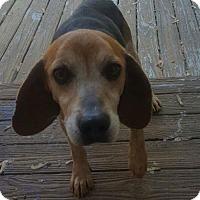 Beagle Mix Dog for adoption in Cincinnati, Ohio - Gunny