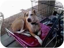 Bull Terrier/Border Collie Mix Dog for adoption in Mesa, Arizona - Gus