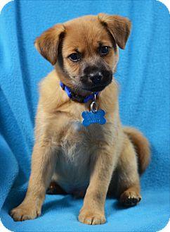 German Shepherd Dog/Retriever (Unknown Type) Mix Puppy for adoption in Minneapolis, Minnesota - Gibson