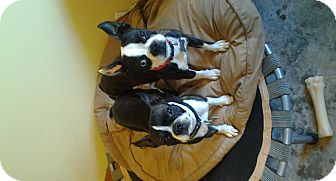 Boston Terrier Dog for adoption in Somers, Connecticut - Mike and Ike