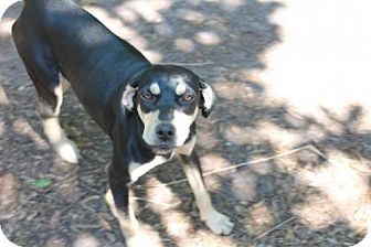 Black and Tan Coonhound Mix Dog for adoption in Wauchula, Florida - Millie