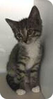 Domestic Shorthair Kitten for adoption in Fairfax, Virginia - Austin