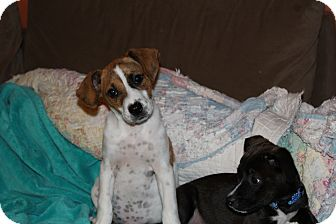 Labrador Retriever Mix Puppy for adoption in Hainesville, Illinois - Violet