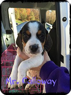 Beagle Mix Puppy for adoption in WESTMINSTER, Maryland - Mr. Calloway