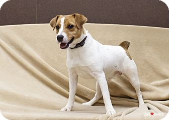 Jack Russell Terrier Dog for adoption in Ile-Perrot, Quebec - Mask