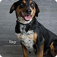 Adopt A Pet :: Ray - Denver, CO