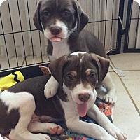 Adopt A Pet :: Mai Tai - Royal Palm Beach, FL