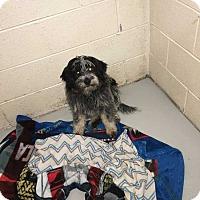 Adopt A Pet :: Bea - Washington, DC