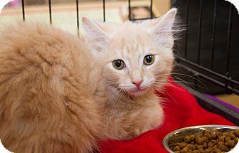 Domestic Longhair Kitten for adoption in Irvine, California - Creamsicle