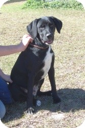 Labrador Retriever Mix Dog for adoption in Crawfordville, Florida - Rufus