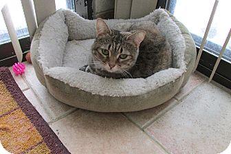 Domestic Shorthair Cat for adoption in Acme, Pennsylvania - Boo Bear