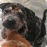 Adopt A Pet :: Alice in Wonderland - fairy - Phoenix, AZ