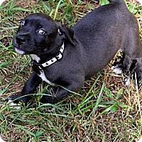 Adopt A Pet :: Coda - Dallas, GA