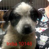 Adopt A Pet :: India - Greencastle, NC