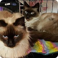 Adopt A Pet :: suri and zaria LH siamese - brewerton, NY