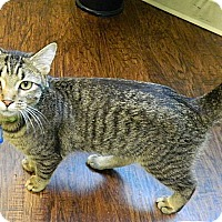 Adopt A Pet :: Pancake - The Colony, TX