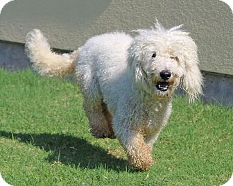 "Poodle (Miniature) Mix Dog for adoption in Plano, Texas - BOB ""MARLEY"""