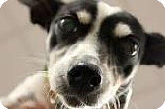 Rat Terrier Mix Dog for adoption in Columbus, Georgia - Snow 1A6B