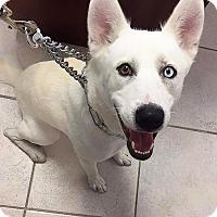 Adopt A Pet :: Bolt - Clearwater, FL