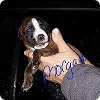 Adopt A Pet :: Morgan - Burlington, VT
