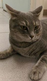 Domestic Shorthair Cat for adoption in New York, New York - Arabelle