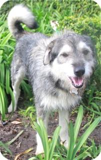 Terrier (Unknown Type, Medium)/Alaskan Malamute Mix Dog for adoption in Norwalk, Connecticut - Jeffrey - adoption pending