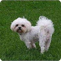 Adopt A Pet :: Zsa Zsa - Rigaud, QC