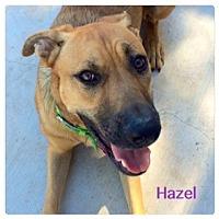 Adopt A Pet :: Hazel - Scottsdale, AZ
