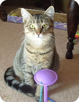 Domestic Shorthair Cat for adoption in BROOKSVILLE, Florida - Mac