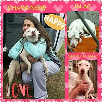 American Bulldog/American Pit Bull Terrier Mix Dog for adoption in Orlando, Florida - Chaya