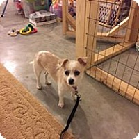 Adopt A Pet :: Pippey - Hillsboro, IL