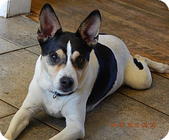 Rat Terrier/Terrier (Unknown Type, Medium) Mix Dog for adoption in Niagara Falls, New York - JoJo(24 lb) New Pics & Video