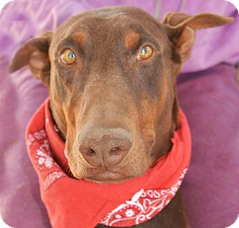 Doberman Pinscher Dog for adoption in Littlerock, California - Mimi