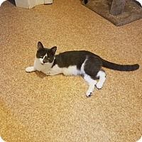 American Shorthair Cat for adoption in Medford, New York - Trinity