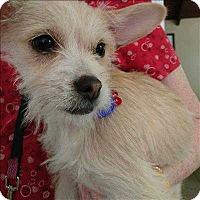 Adopt A Pet :: Buttercup - Encino, CA